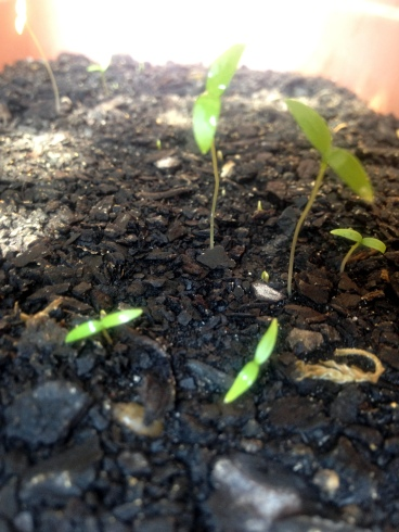 Parsley seedlings